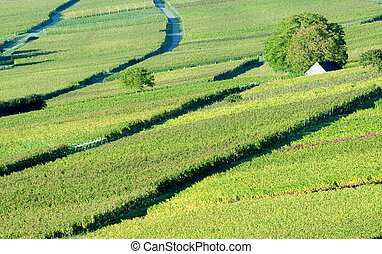 Vineyard Landscape - Beautiful Vineyard Landscape in Summer