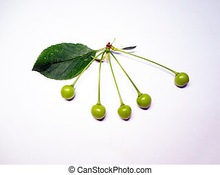 cherry - sprig of green cherries on a white background