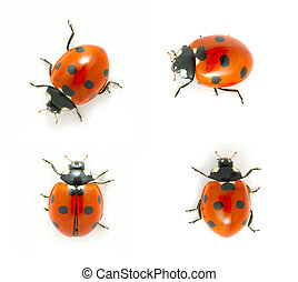 red ladybug isolated on the white