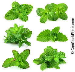 collection for fresh mint - collection of fresh mint on...