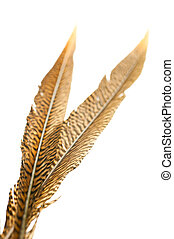 Golden pheasant tail feathers over white - Golden pheasant...