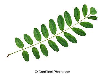 verde, folha, Acácia, isolado, branca, fundo