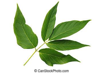 zielony, Liść, jesion, odizolowany, biały, tło