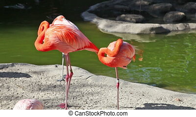 Pink flamingo cleaning feathers in zoo