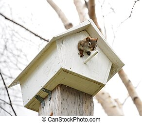 squirrel in bird house - squirrel in white birdhouse looking...