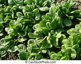 spinach vegetable bed top view...