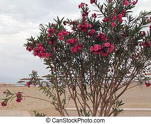Oleander against Dead sea beach - Pink oleander on Dead sea...