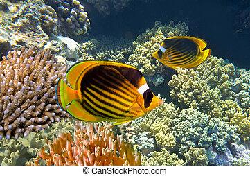 Raccoon butterfly fish - Raccoon butterfly fish, Red Sea,...
