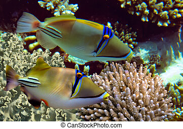 Picasso Triggerfish, in the Red Sea, Egypt