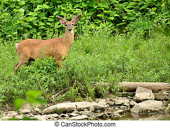 Whitetail Deer Buck in summer velvet standing at stream...
