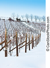 Tuscany: wineyard in winter - Unusual image of a wineyard in...
