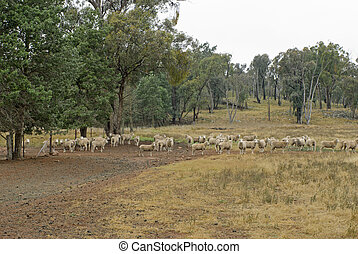 mammal - a mob of ewes at the farm gate