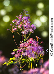 Greater- or Columbine Meadow Rue in spring - Thalictrum...