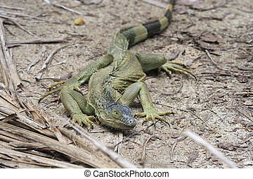 Green iguana - Three feet green iguana walking on the beach...