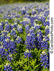 Texas Bluebonnets - Texas Bluebonnet Wildflowers