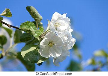 Flowers Blooming Apple Tree