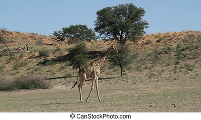 Giraffe walking - A giraffe Giraffa camelopardalis walking...