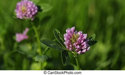 cowgrass - red clover