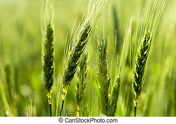 From the wheat in the field.
