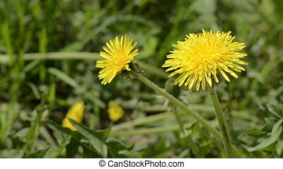 Dandelions shivering on a wind