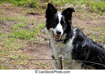 Boarder collie waiting at a fence
