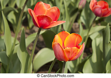 Fiery-red tulips with green leaves on a bright sunny day