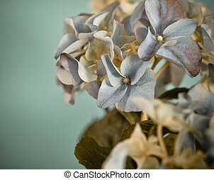 Close-up of a blue hydrangea in retro style - Close-up of a...