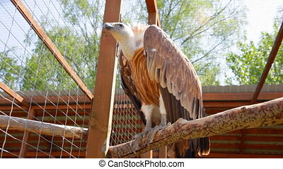 Griffon Vulture in a zoo - Griffon Vulture in a zoo