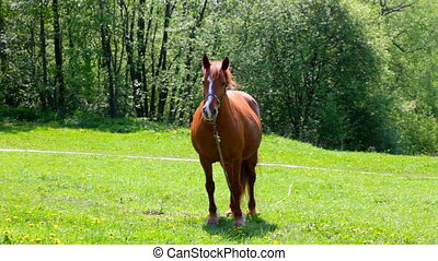 Horse pastures on a green meadow - The horse pastures on a...