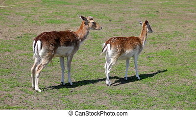 Two spotty deer  (Cervus nipon)