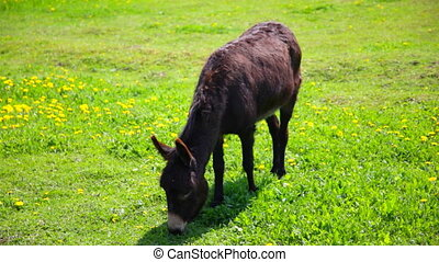 Donkey pastures on a green mea - The donkey pastures on a...
