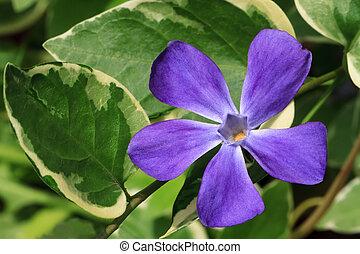Purple Vinca Major Flower with Varigated Foliage - Single...