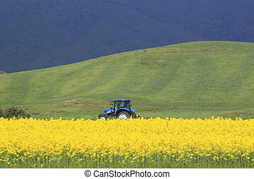 Rape field, canola crops and tractor - Rape field, canola...