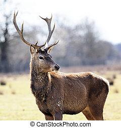 wild deer in alert in a meadow in spring