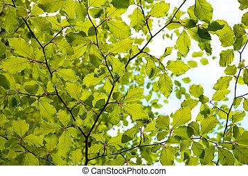fresco, folhas, verde, primavera
