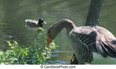 Duck eating a piece of bread