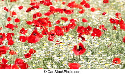 meadow with poppy and chamomile flowers