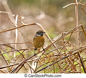 Common Stonechat - Small bird Common Stonechat perched on...