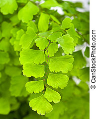 Branches  of maidenhair - Branches with leaves of maidenhair
