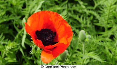 poppy - red poppy in wind