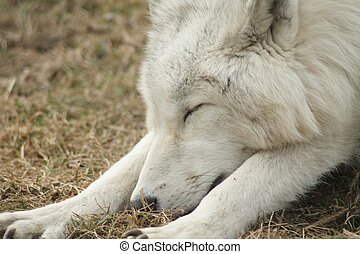 Arctic wolf sleeping - White Arctic Wolf (Canis lupus...