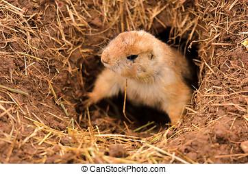 Black-tailed Prairie Dog - Closeup of a Black-tailed Prairie...