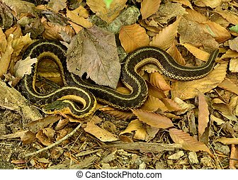 Garter Snake crawling along the forest floor.