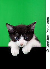 Small Domestic Cat Cutout on Green and Black Background