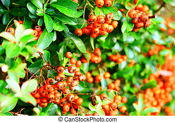 Bright Red Berry Bush - Vibrant foliage with bright red...