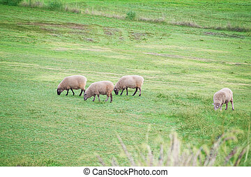sheeps - some sheeps on a grassy field in rural South...