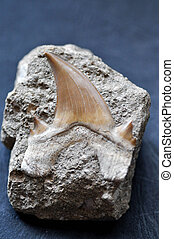 tubarão,  fóssil, dente