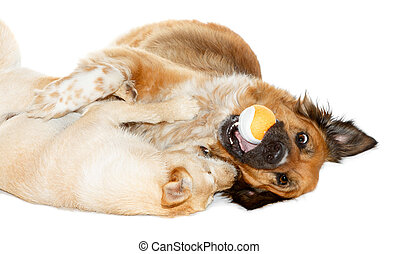 Two dogs playing with a ball on white background