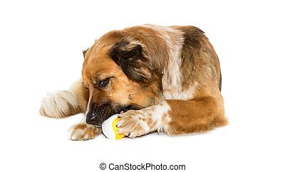 Big dog with a ball on white background