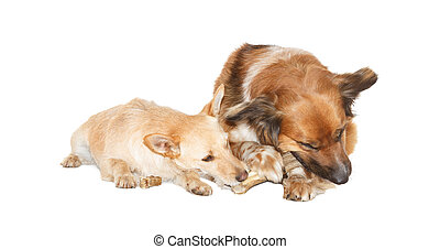 Little dog is stealing a bone from a big dog, on white...